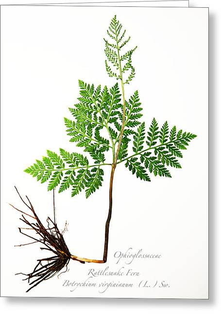 Rattlesnake Fern Greeting Card