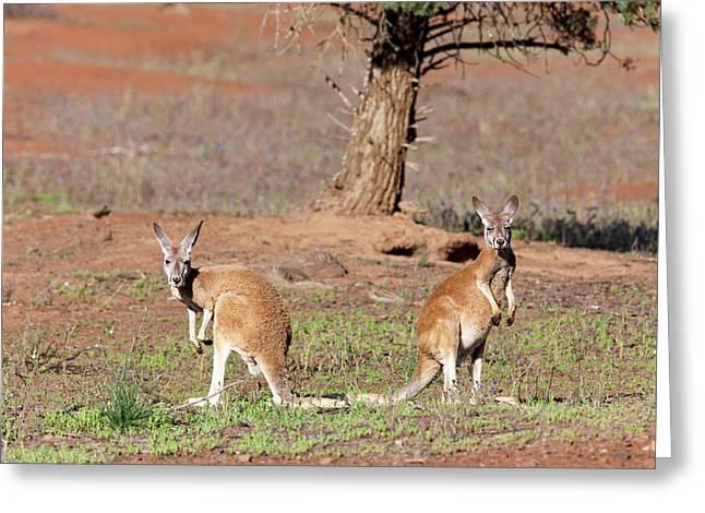 Red Kangaroo (macropus Rufus Greeting Card