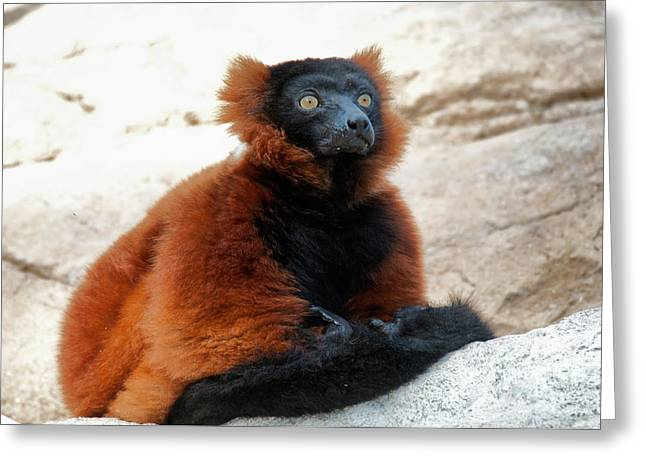 Red Ruffed Lemur Greeting Card by Mark Newman