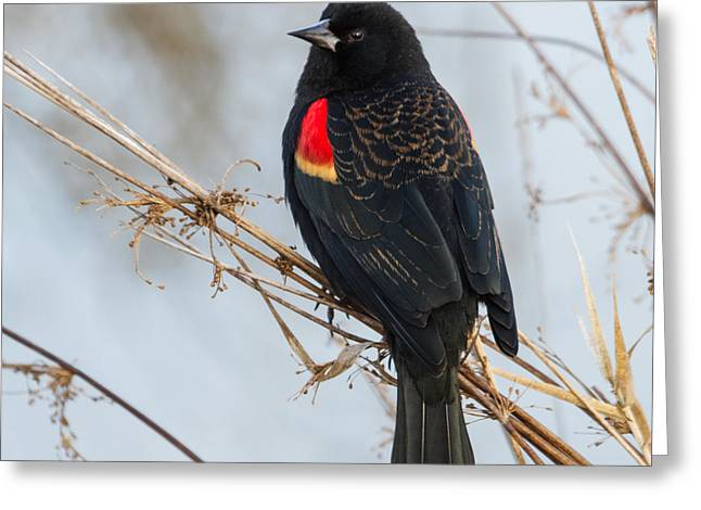 Red-winged Blackbird Greeting Card by Angie Vogel
