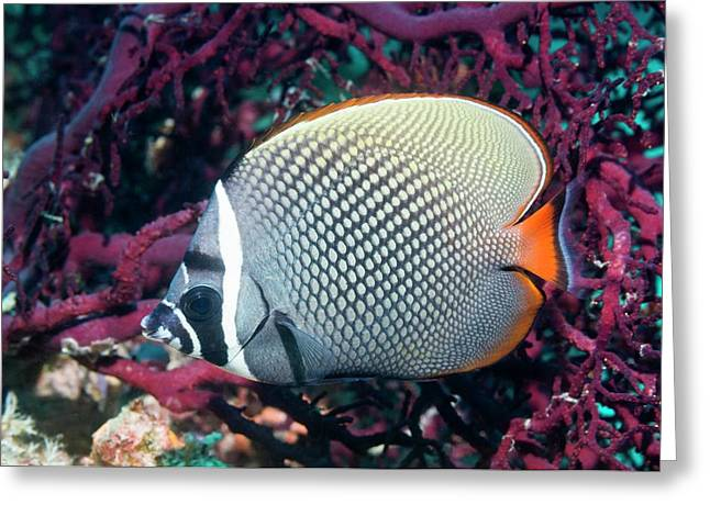 Redtail Butterflyfish On A Reef Greeting Card by Georgette Douwma