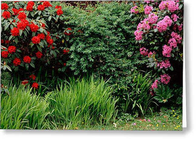 Rhododendrons Plants In A Garden, Shore Greeting Card by Panoramic Images