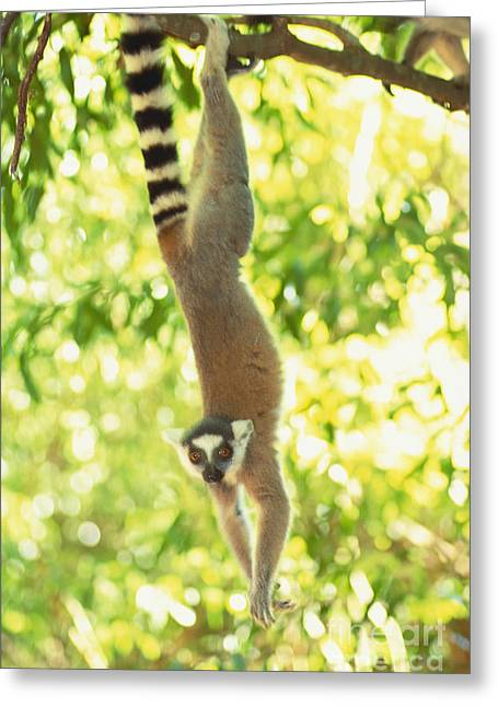 Ring-tailed Lemur Greeting Card by Art Wolfe