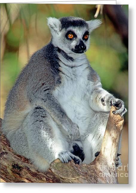Ring-tailed Lemur Lemur Catta Greeting Card