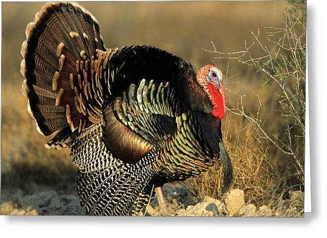 Rio Grande Wild Turkey (meleagris Greeting Card by Richard and Susan Day