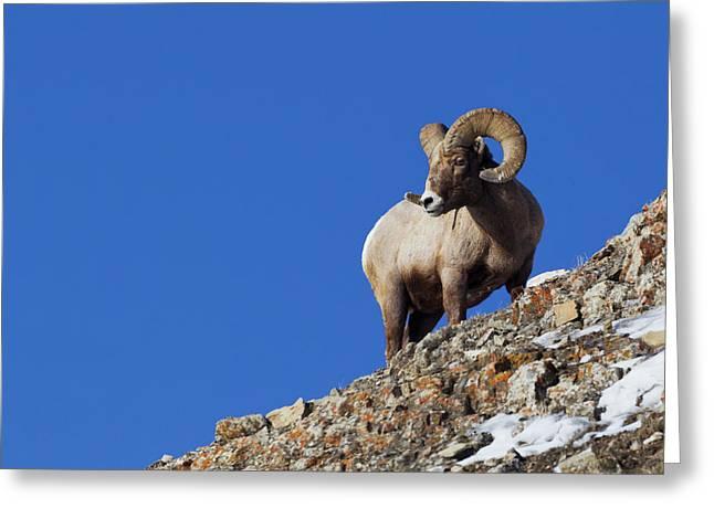 Rocky Mountain Bighorn Sheep Greeting Card by Ken Archer