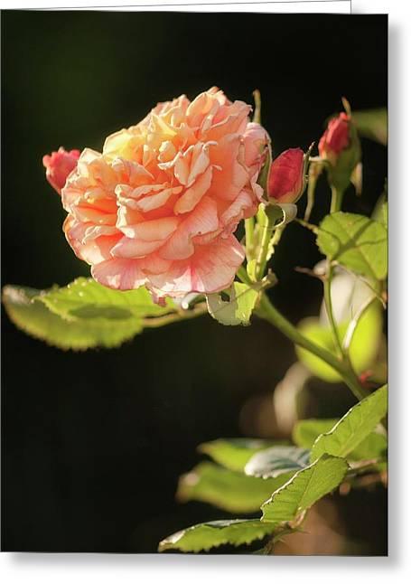 Rosa 'aloha Hawaii' Flower Greeting Card