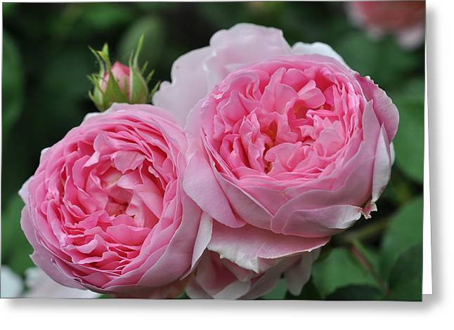 Greeting Card featuring the photograph Rose Constance Spry by Sabine Edrissi