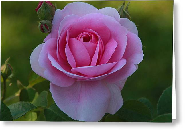 Rose Of Spring Greeting Card by Edward Kocienski