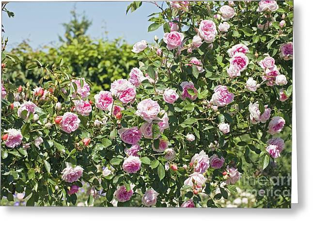 Rose Rosa Debutante Greeting Card by Dr. Keith Wheeler