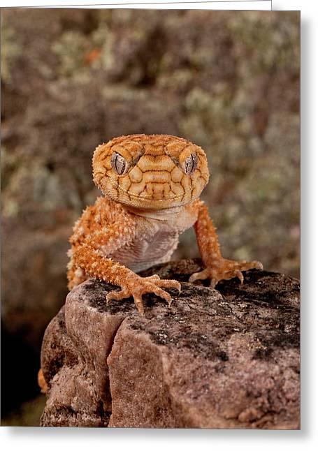 Rough Knob-tail Gecko, Nephrurus Amyae Greeting Card by David Northcott
