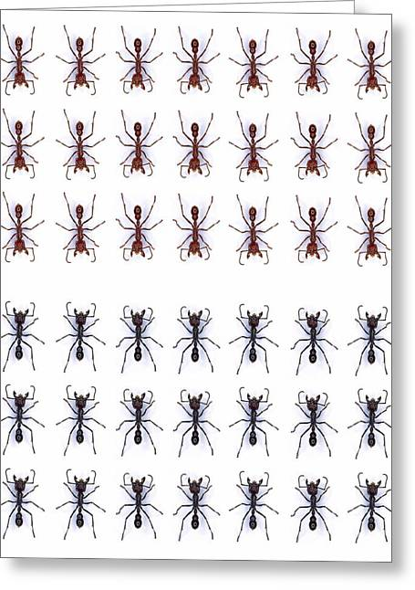 Rows Of Ants Greeting Card by Gustoimages/science Photo Library
