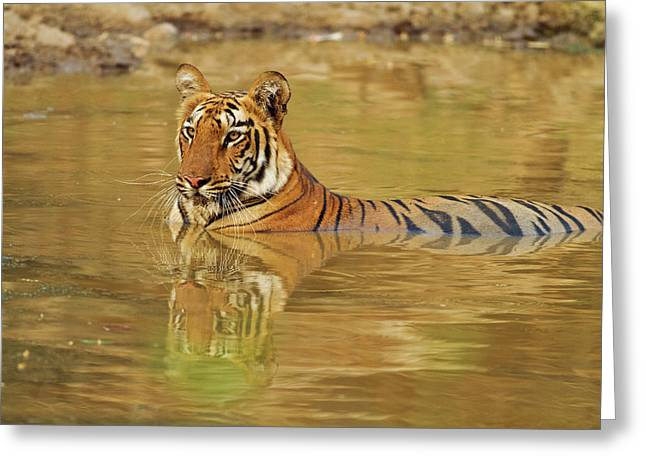 Royal Bengal Tiger At The Waterhole Greeting Card