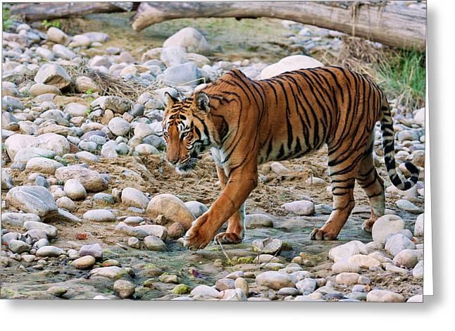 Royal Bengal Tiger (male Greeting Card by Jagdeep Rajput
