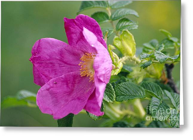 Salt Spray Rose Flower Rosa Rugosa Greeting Card by Dr. Nick Kurzenko
