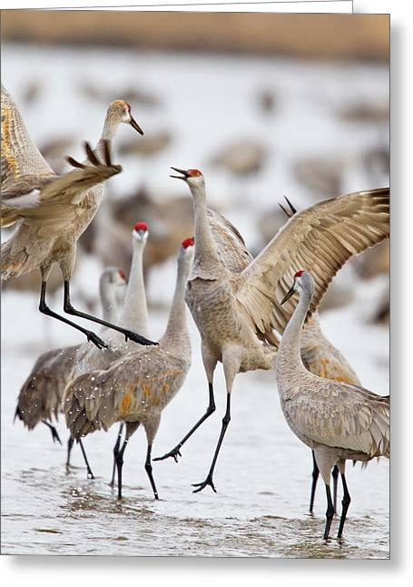 Sandhill Cranes Dancing On The Platte Greeting Card by Chuck Haney