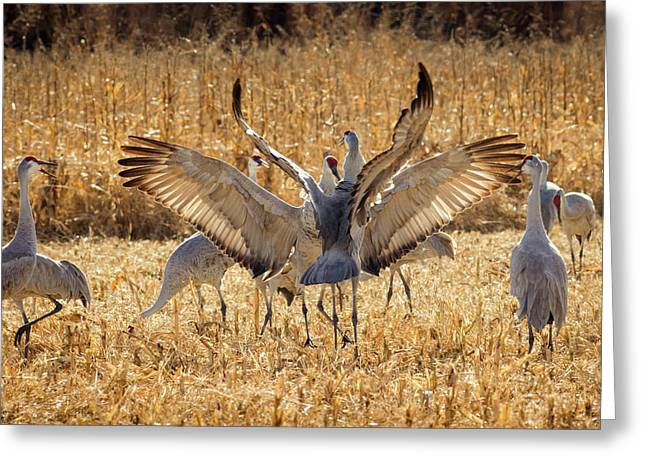 Sandhill Cranes In The Corn Fields Greeting Card