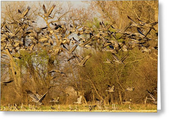 Sandhill Cranes Leave Corn Fields Greeting Card by Chuck Haney