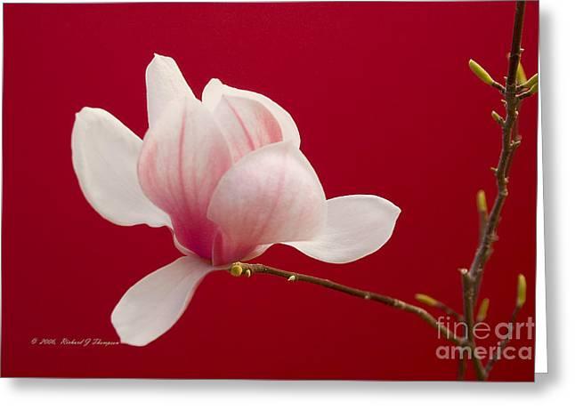 Saucer Magnolia Greeting Card