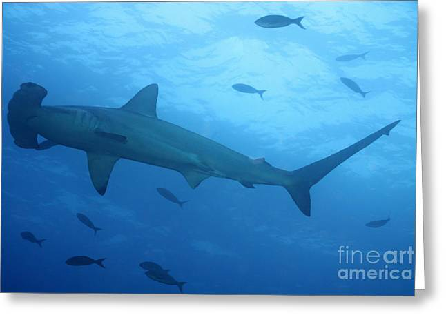 Scalloped Hammerhead Sharks Greeting Card by Sami Sarkis