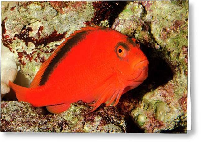 Scarlet Hawkfish Or Flame Hawkfish Greeting Card by Nigel Downer
