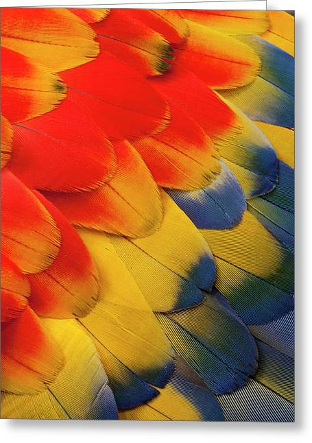 Scarlet Macaw Wing Covert Feathers Greeting Card by Darrell Gulin