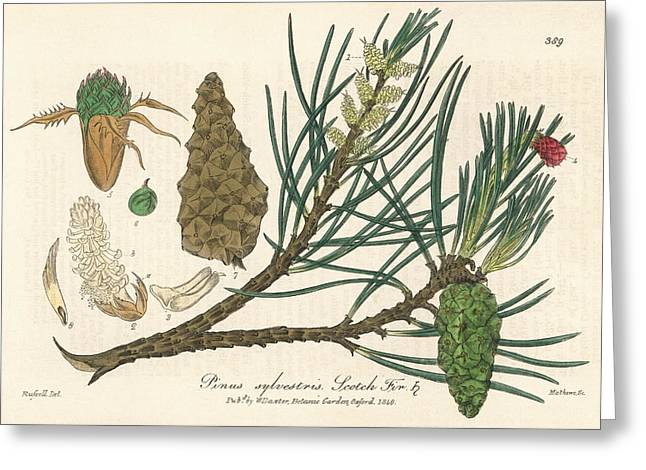 Scots Pine Greeting Card by Florilegius/natural History Museum, London