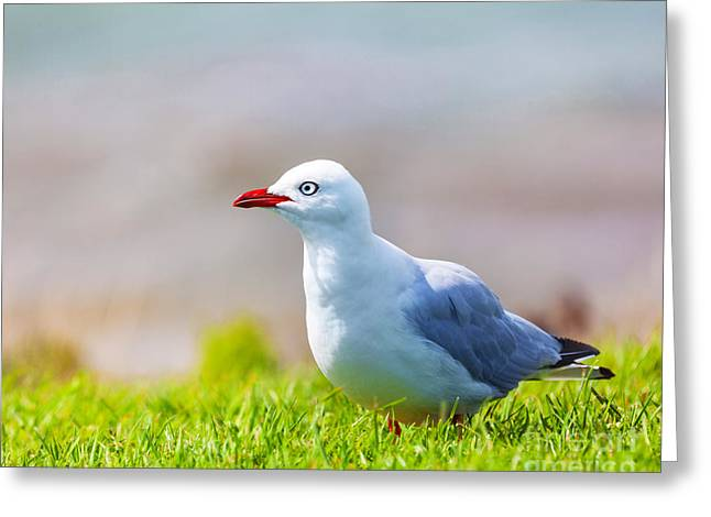 Seagull Greeting Card by MotHaiBaPhoto Prints