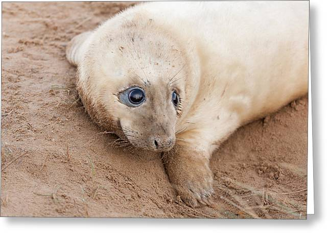 Seal Pup Greeting Card