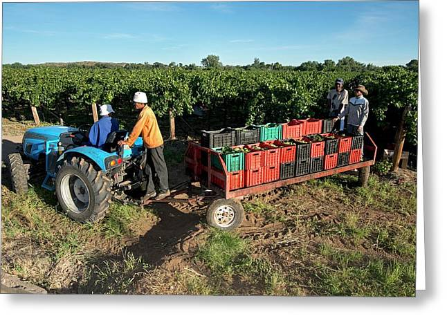 Seasonal Workers Harvesting Grapes Greeting Card