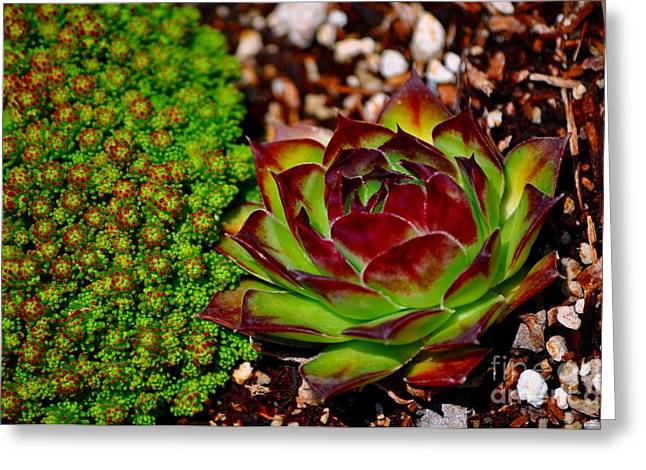 Sedum And Succulents Greeting Card by Mandy Judson