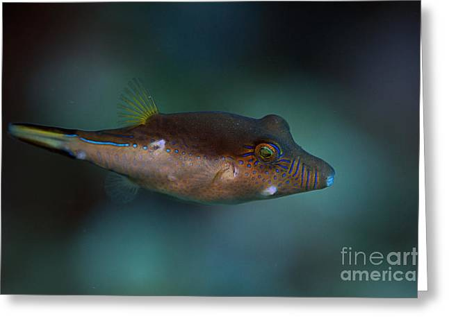 Sharpnose Puffer Greeting Card