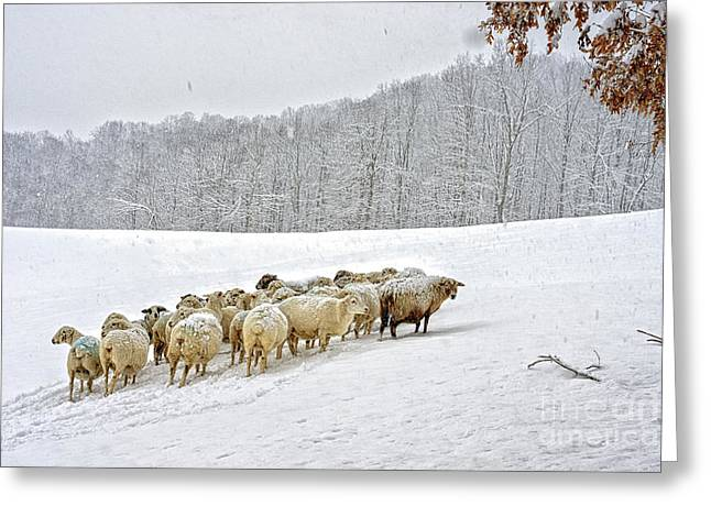 Sheep In Snow Greeting Card by Thomas R Fletcher