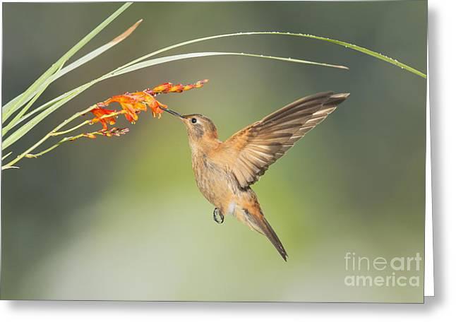 Shining Sunbeam Hummingbird Greeting Card