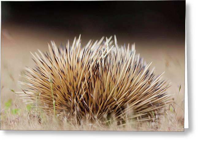Short-beaked Echidna (tachyglossus Greeting Card