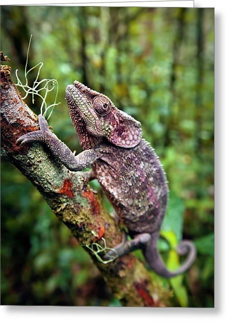 Short-horned Chameleon Greeting Card