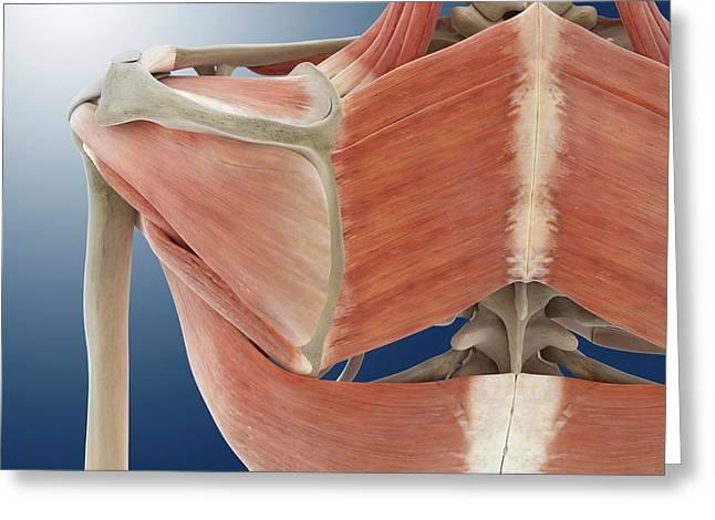 Shoulder And Back Anatomy Greeting Card by Springer Medizin
