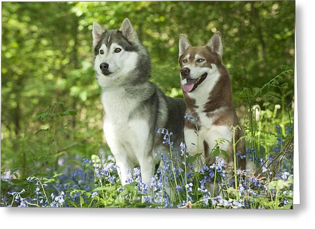 Siberian Huskies Greeting Card