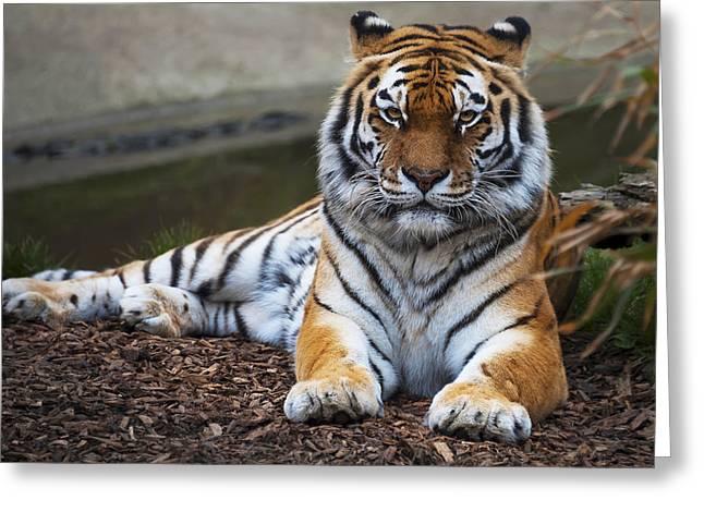Siberian Tiger Greeting Card by Svetlana Sewell