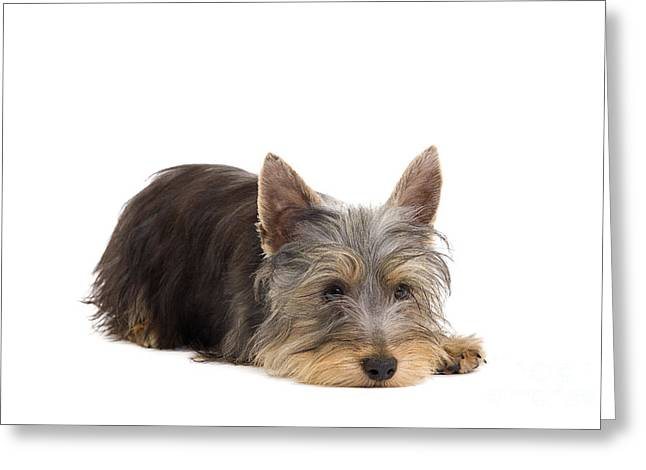 Silky Terrier Puppy Dog Greeting Card by Jean-Michel Labat