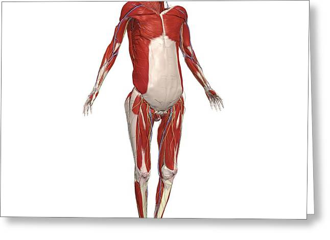 Skeleton With Superficial Muscles Greeting Card by Medical Images, Universal Images Group