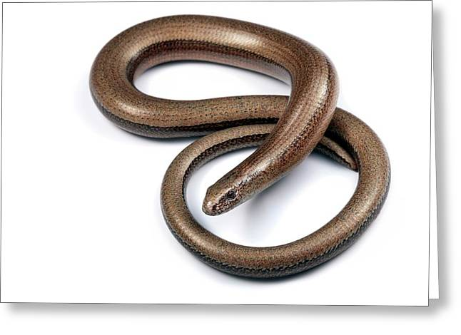 Slow Worm Greeting Card