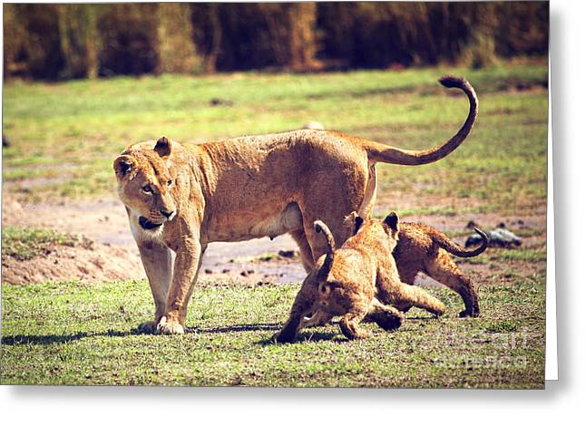 Small Lion Cubs With Mother. Tanzania Greeting Card by Michal Bednarek