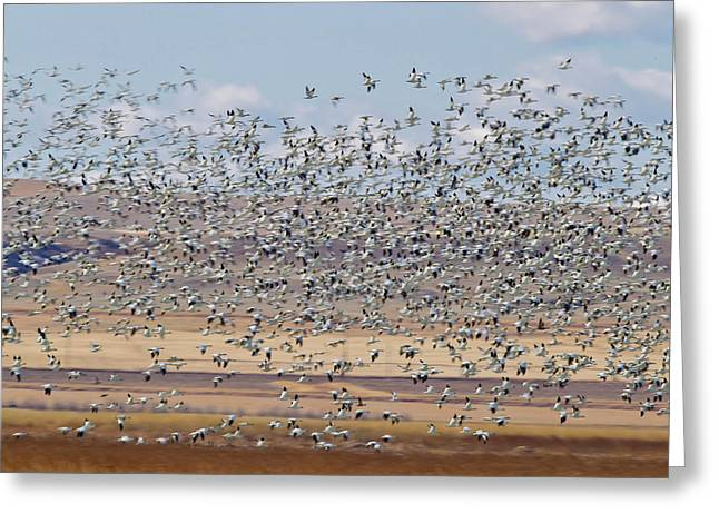 Snow Geese During Spring Migration Greeting Card by Chuck Haney