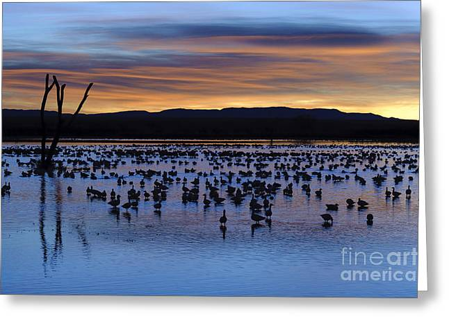 Snow Geese In Pond At Sunrise Greeting Card by John Shaw