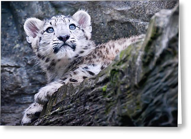 Snow Leopard Cub Greeting Card by Chris Boulton