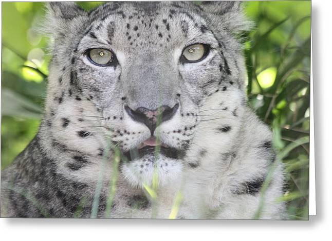 Snow Leopard Greeting Card by John Telfer