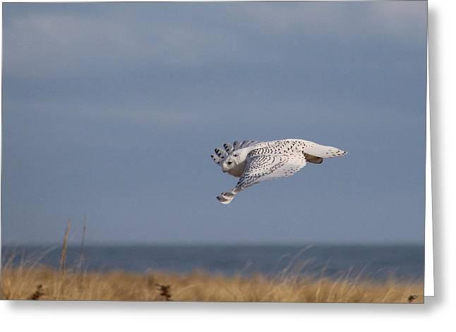 Snowy Owl Hampton Bays New York Greeting Card
