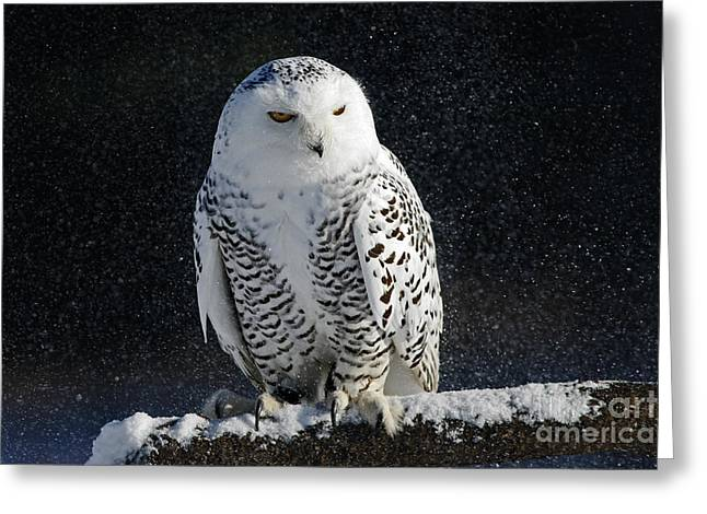 Snowy Owl On A Twilight Winter Night Greeting Card by Inspired Nature Photography Fine Art Photography
