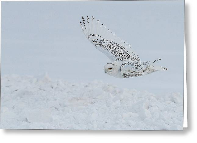Greeting Card featuring the photograph Snowy Owl #2/3 by Patti Deters